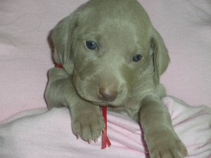 Weimaraner who was almost picked by Romney as first pup